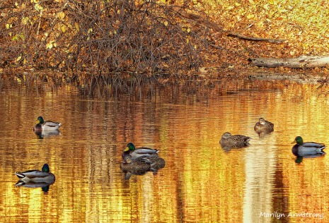 Ducks on a golden pond
