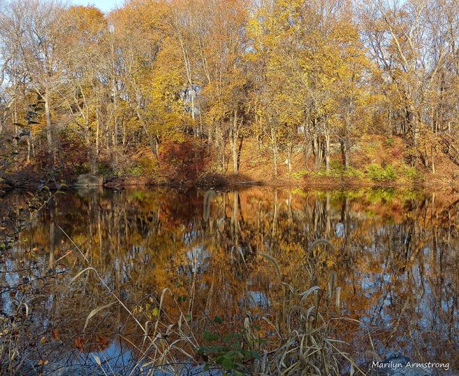Mallards golden november at the dam