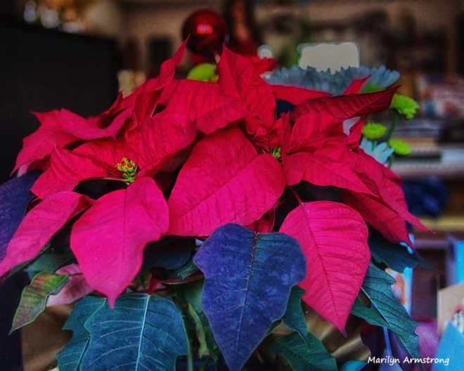 poinsettia almost christmas