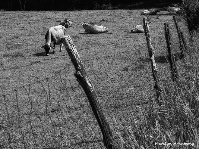 cow field farm fence BW black and white