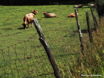 A bright green day for the cattle