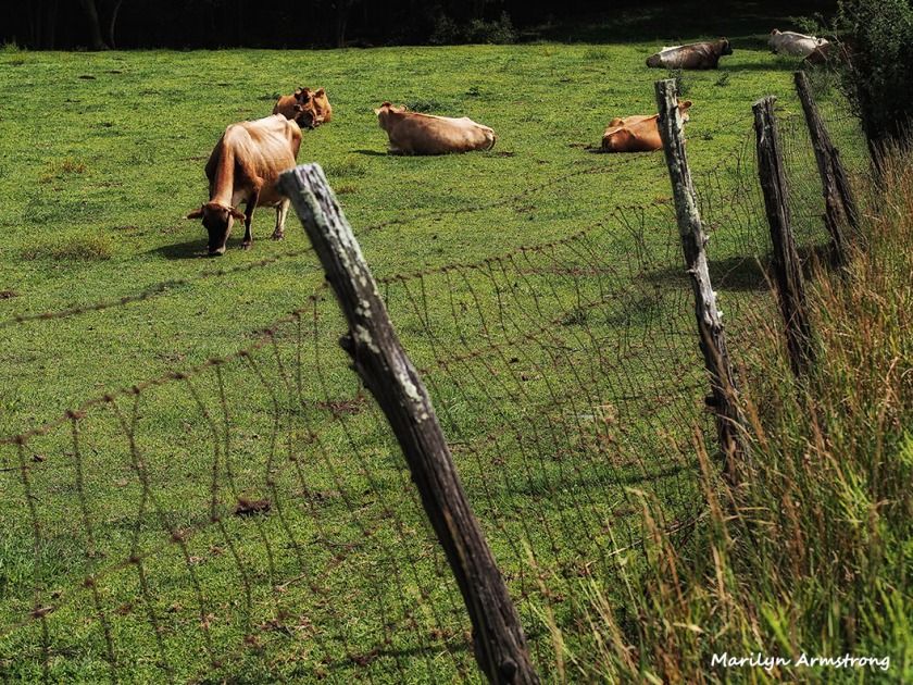 summer august cows fence