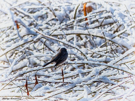 72-Bird-Snow-Sunday0125_23