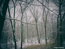 Snow falling gently in the woods January