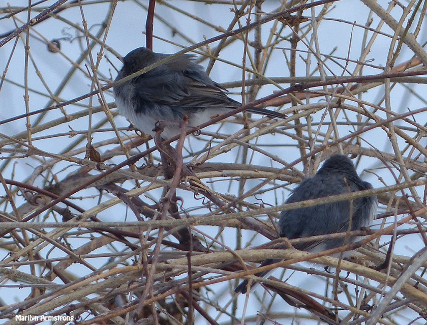 72-two juncos winter Birds-II_046
