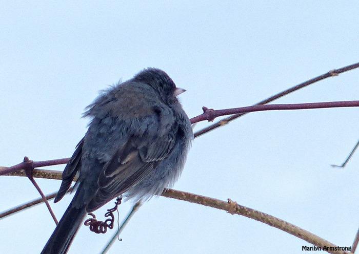 72-junco-Birds-II_048