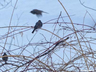 72-flying junco-Birds-II_055
