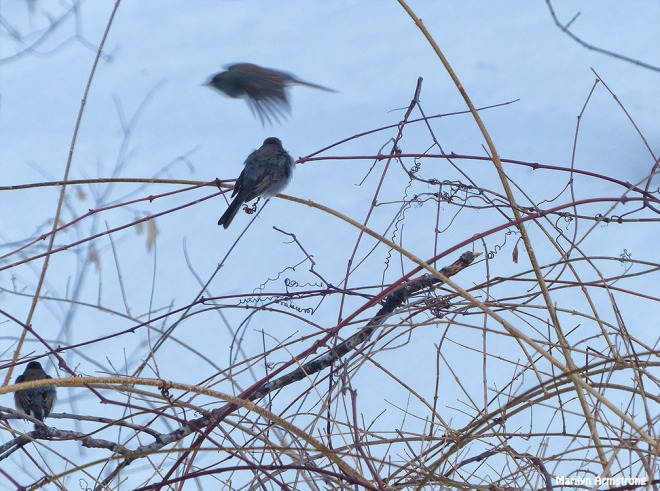 72-flying junco-Birds-II_055
