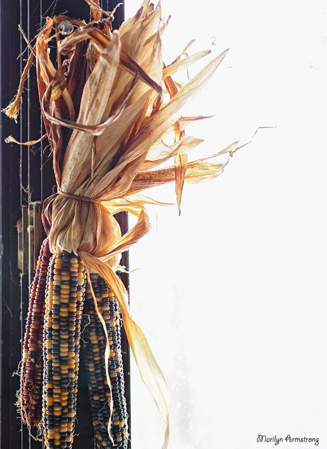 Indian corn in kitchen window