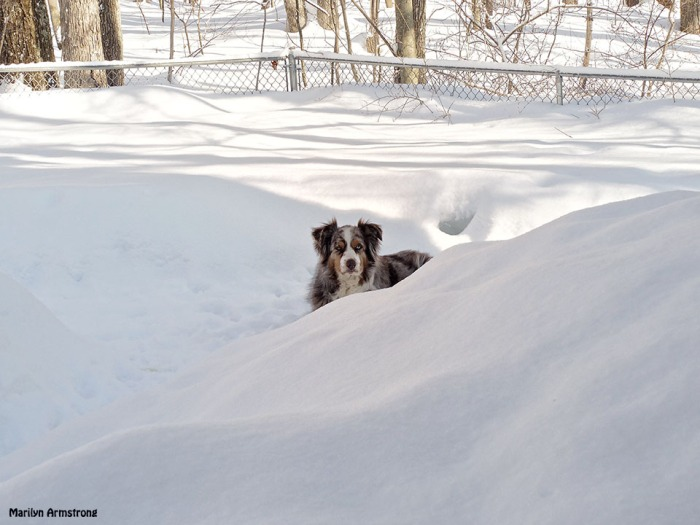 Today, after the new snow, Bishop didn't want to come in ... until he heard the sound of biscuits being offered ...
