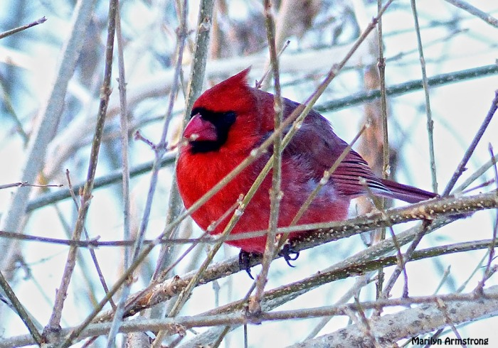 72-Cardinal-II_20