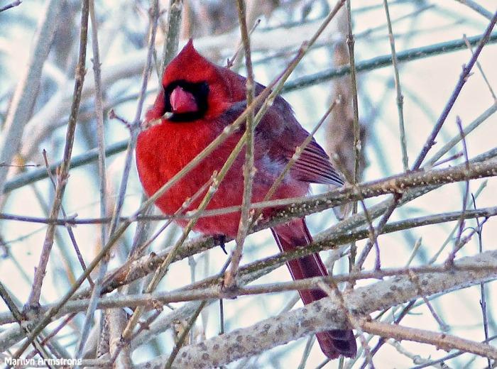 72-Cardinal-II_28