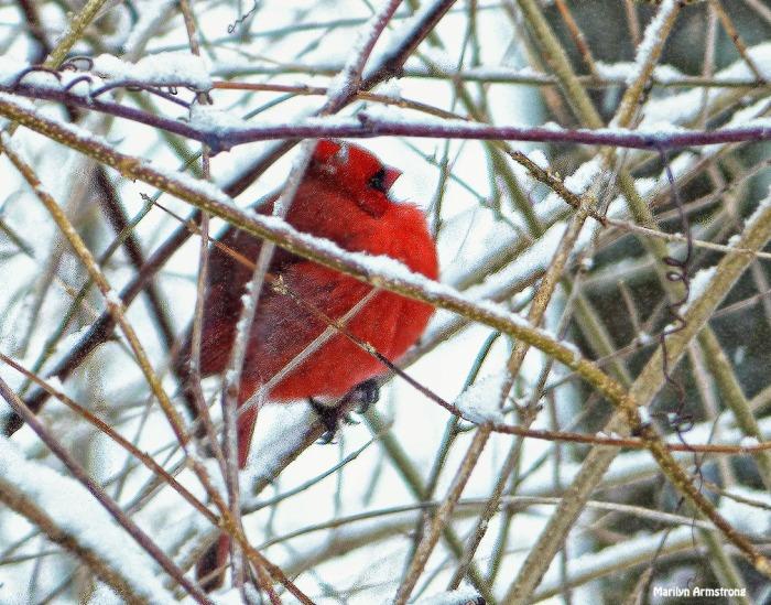 72-Cardinal_2