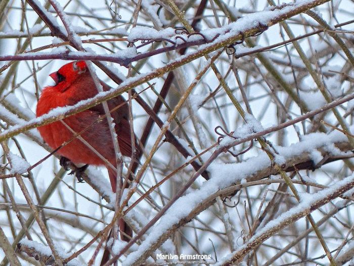 72-Cardinal_3-flip