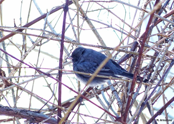 72-Junco-Early-Morning-031915_24