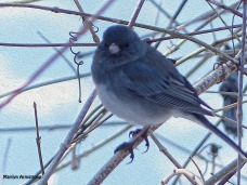 72-OIL-Junco-March-12_04