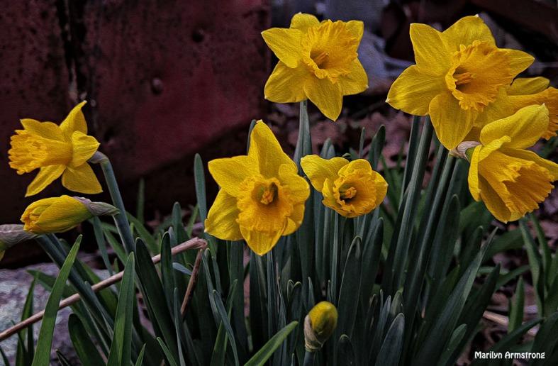 72-Daffodils-Sunday-0419_13