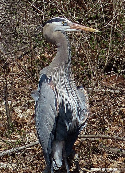 72-Great-Blue-HERON_035