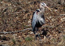 72-Great-Blue-HERON_064