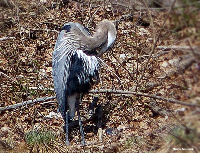 72-Great-Blue-HERON_073