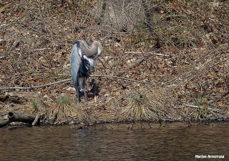 72-Great-Blue-HERON_074
