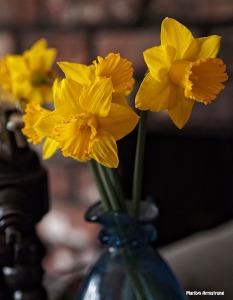 my daffodils