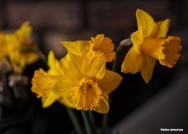 my daffodils april 2015