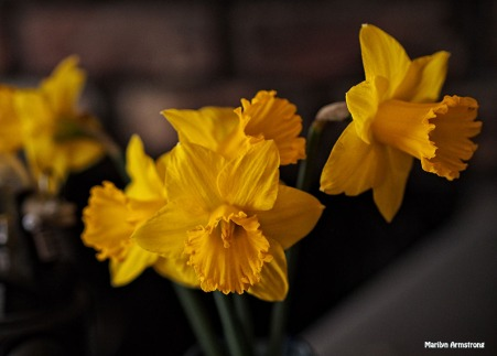 my daffodils april 2015