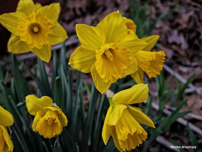72-Oil-Daffodils-Sunday-0419_16