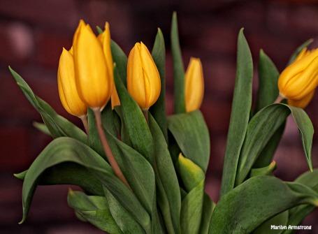 yellow tulips april