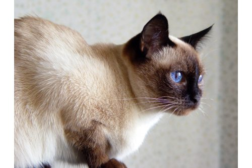 Mao traditional-siamese sealpoint