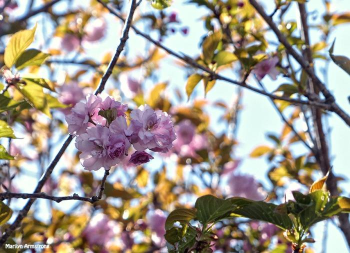 72-Cherry-Blossoms_108
