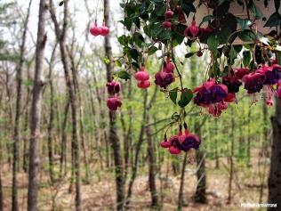 fuchsia deck woods may