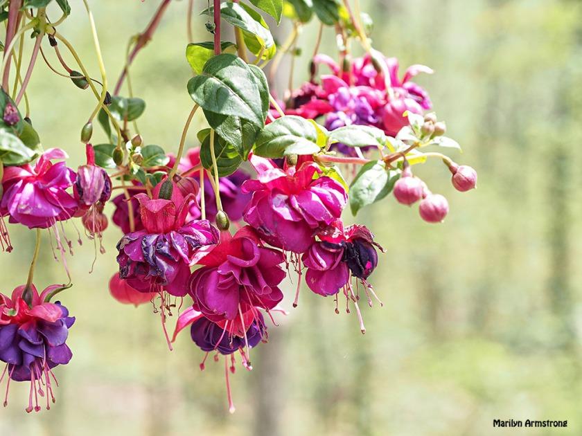 fuchsia spring