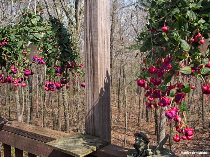 fuchsia on the deck may