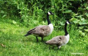 Matching geese