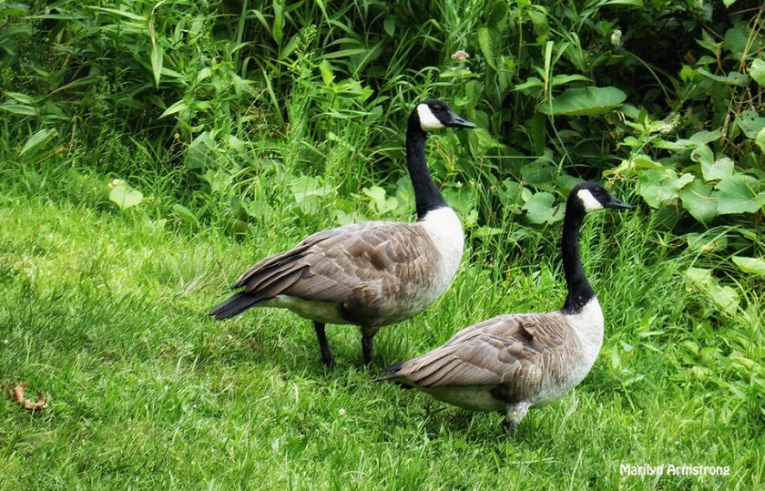 72-Geese-matched-pair_03