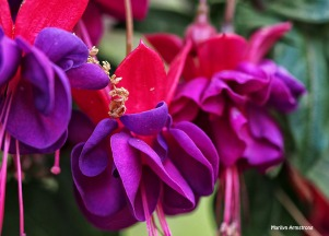 Purple fuchsia