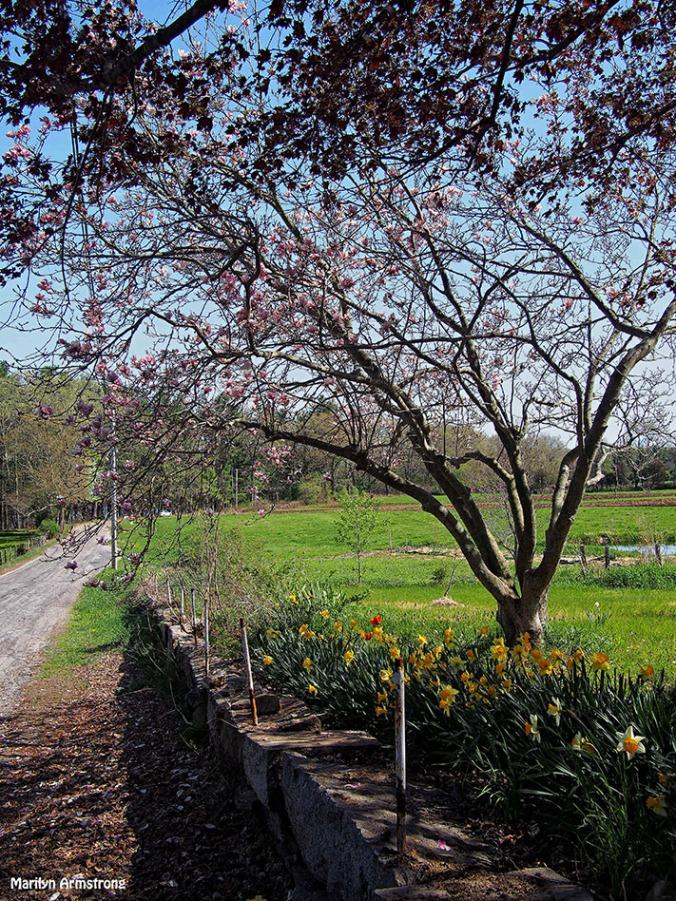 Chestnut Street Magnolia