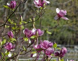 72-Magnolia_107