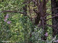 72-May-Lilacs-q7_31