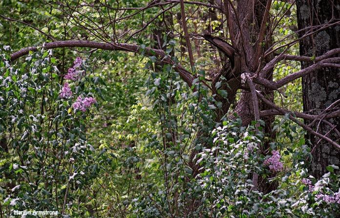 72-May-Lilacs-q7_33