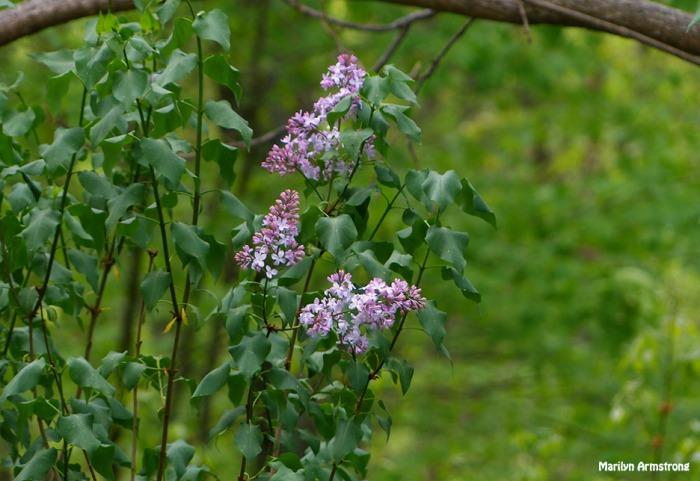 72-May-Lilacs_40