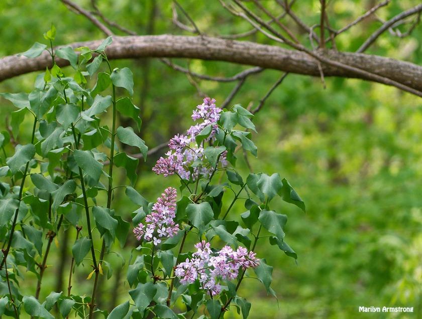 72-May-Lilacs_41