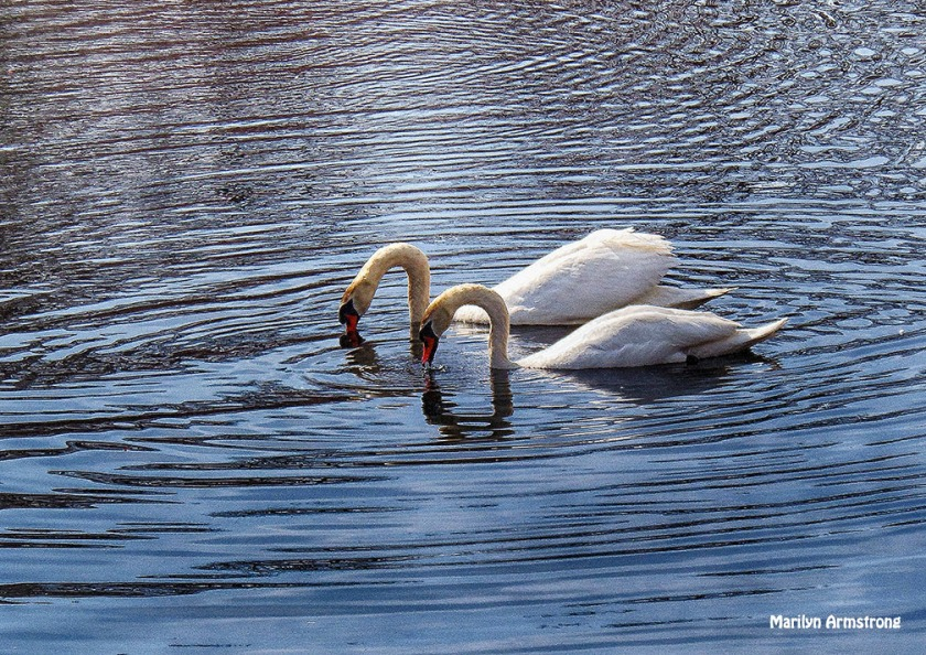 Swans matched pair April 2013