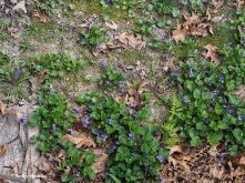 violets dandelions lawn ground