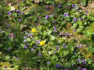 violets and dandelions