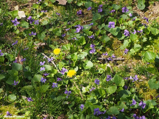 violets and dandelions