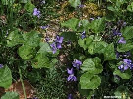 violets lawn spring