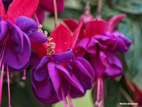 Fuchsia macro 0615-1